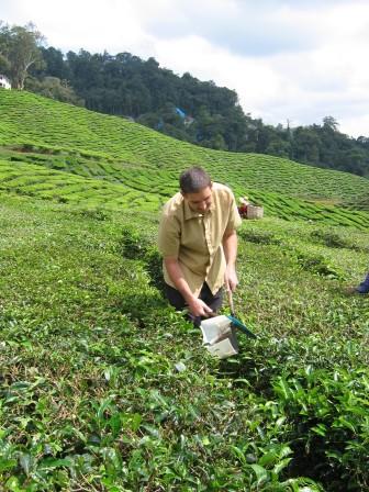 sacando hojas de té en malasia