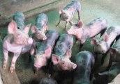 cerdos-la-volcana