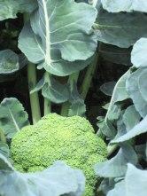 el-llano-brocoli