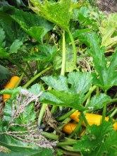 zucchini-el-uvito